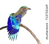 beautiful bird  indian roller ... | Shutterstock . vector #713733169