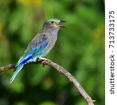 beautiful bird  indian roller ... | Shutterstock . vector #713733175