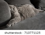 Stock photo lazy british short hair cat sleeping on a couch in a flat in edinburgh scotland with her face 713771125