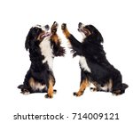 bernese mountain dog gives paw... | Shutterstock . vector #714009121