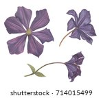 Set Of Different Clematis...