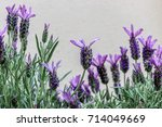 Close Up Of Blooming Lavender...