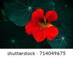 Red Flower Of Nasturtium With...