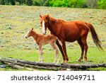 Foal And Mare Horses In...