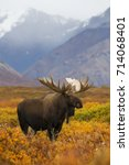 a bull moose out in the fall... | Shutterstock . vector #714068401