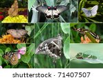 collage of south asia butterfly ... | Shutterstock . vector #71407507