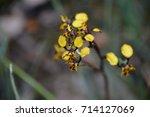 diuris pardina or leopard...   Shutterstock . vector #714127069