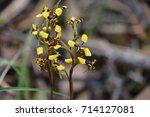 diuris pardina or leopard...   Shutterstock . vector #714127081