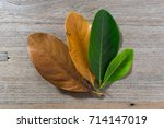 leaves of different age of tree ...   Shutterstock . vector #714147019