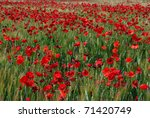 Wheat Field With Poppies ...
