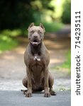 Small photo of Beautiful dog American Pit Bull Terrier in nature