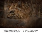 indian leopard in the nature... | Shutterstock . vector #714263299
