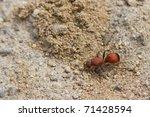 Female Velvet Ant  A Wingless...