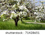 A Blooming Branch Of Apple Tree ...