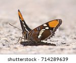 Small photo of Close up of a California Sister Butterfly (Adelpha californica) on a rock near the Vernal Falls in Yosemite National Park. Ventral view