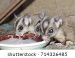 Cute Squirrels Eating Milk
