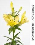 Small photo of Lilium Longiflorum x Asiatic Grp Rodin