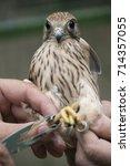 Small photo of bird ringing - common kestrel (Falco tinnunculus)