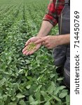 Small photo of Farmer or agronomist examining green soybean crop and plant in field
