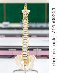 the vertebral column  also... | Shutterstock . vector #714500251