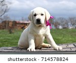 little yellow labrador puppy... | Shutterstock . vector #714578824