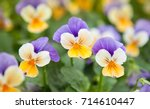 The Garden Pansy Is A Type Of...