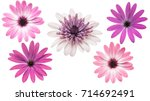 Stock photo osteosperumum flower daisy isolated on white background macro closeup 714692491