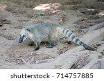 Small photo of The western mountain coati or western dwarf coati (Nasuella olivacea) in Safari park Ramat Gan, Israel
