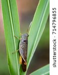 Small photo of Image of Brown Short-horned Grasshoppers(Acrididae)on green leaves. Insect. Animal.