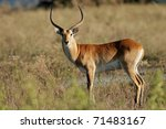 A Male Red Lechwe Antelope ...