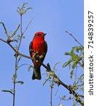 a vermillion flycatcher ... | Shutterstock . vector #714839257