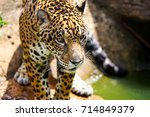 Closed Up Jaguar With Water An...