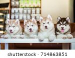 four cute and fluffy siberian... | Shutterstock . vector #714863851