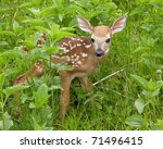 Whitetail Deer Fawn Standing I...