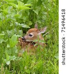 Whitetail Deer Fawn Resting In...