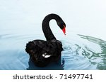 A Black Swan Swimming On A Pool ...