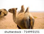 Small photo of Rear of a wild double hump bactrian camel wandering the Gobi Desert in Mongolia