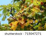 Horse Chestnut Tree Branch Wit...