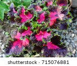 A Variety Of Coleus Plant With...