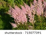 Small photo of The beauty of flowers. Astilbe delicate pink blossom in flower garden and beautify the garden
