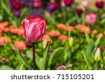 beautiful tulips flower closeup ... | Shutterstock . vector #715105201