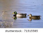 Mated Pair Of Mallards In...