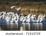 Flocks Of Snow Geese Winter At...