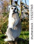 Meerkat Posing For Photo Like ...