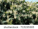 fall blooming japanese knotweed ... | Shutterstock . vector #715235305