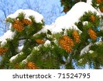 Fir Cones On A Branch In A Snow