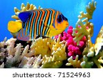 Regal Angelfish  Pygoplites...