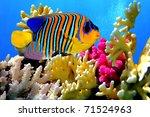 Regal Angelfish  Pygoplites...