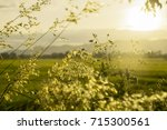 green and white wild grass... | Shutterstock . vector #715300561
