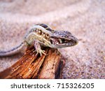 Common Wall Lizard  Lizards ...